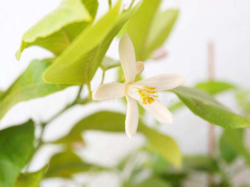 Citrus Flower Royalty Free Stock Images