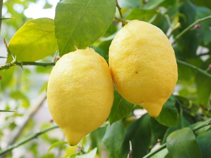 Citrus, Fruit, Lemon, Citron stock photos