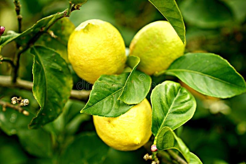 Citrus, Fruit, Lemon, Produce royalty free stock image