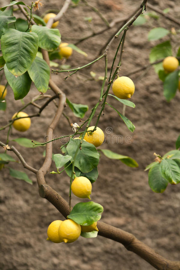 Citrus Fruit On Plant Stock Image