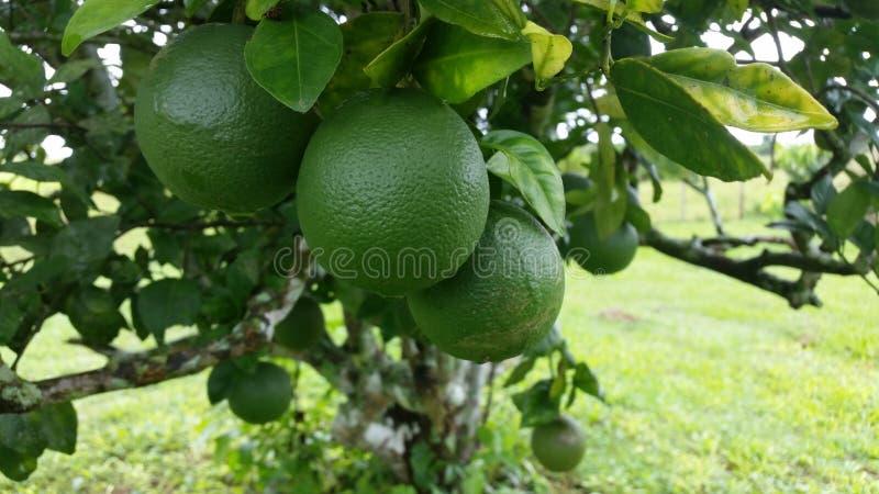 Citrus, Fruit, Produce, Fruit Tree royalty free stock photo