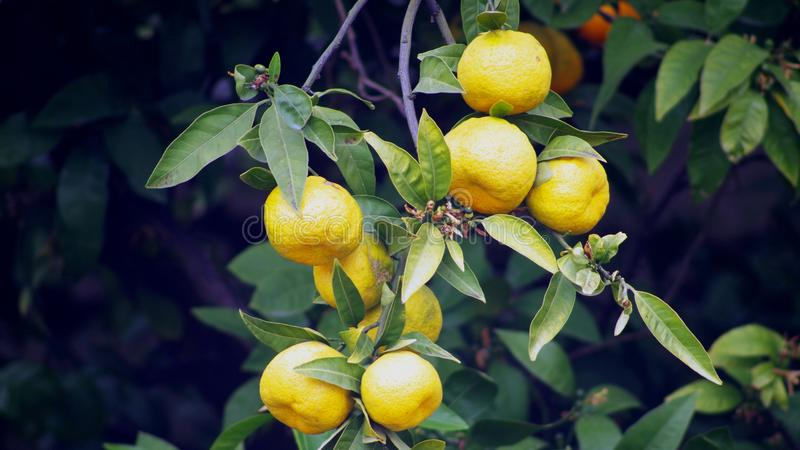 Citrus, Fruit, Fruit Tree, Lemon stock photo