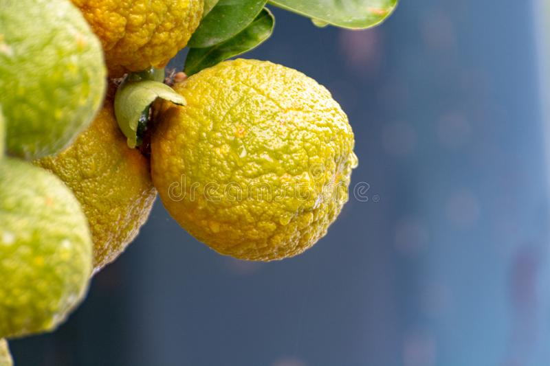 Citrus fruits of sour orange bergamot riping on blossoming thee. Close up stock photography