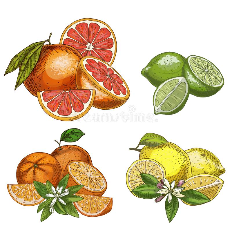 Free Citrus Fruits With Halves And Flowers. Lemon, Lime, Grapefruit, Orange. Stock Photos - 103000353
