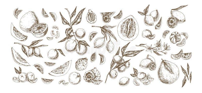 Citrus handritade illustrationer Insamling av skördar av frukt och örter Bergamot, pomelo, citron, lime stock illustrationer
