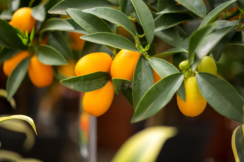 Citrus kumquat royaltyfria foton