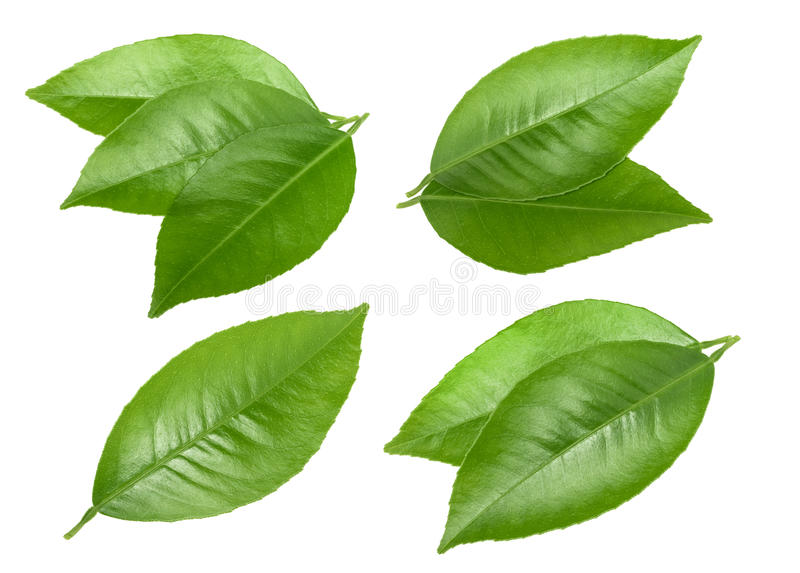 Citrus leaves isolated without shadow.  stock images
