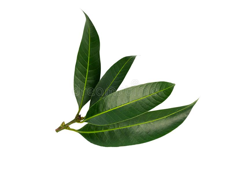 Citrus leaves on white background. clipping path stock photography