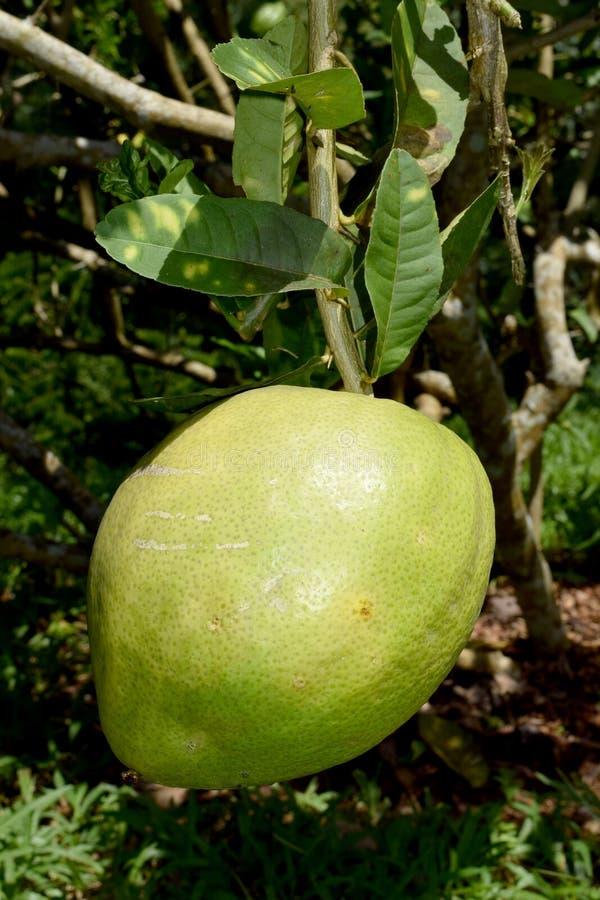 Citrus medica L. var. sarcodactylis (Hoola van Nooten) Swingle - RUTACEAE royalty free stock photography