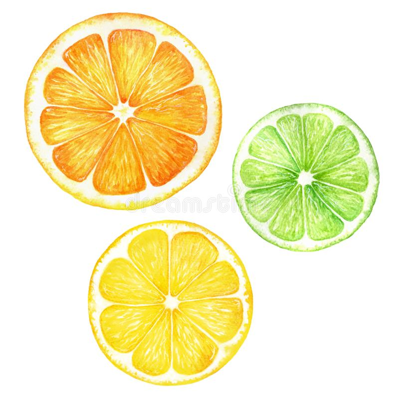Citrus slice fruits watercolor hand drawn illustration. Orange, lemon, lime isolated on white background. For the design vector illustration