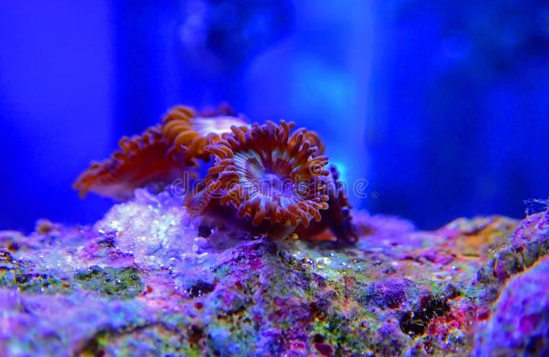 Citrus spp. - Zoanthus polyps kolonie zacht koraal in rif aquarium tank stock afbeeldingen