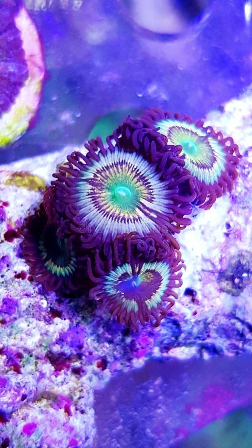 Citrus spp. - Zoanthus polyps kolonie zacht koraal in rif aquarium tank stock afbeelding