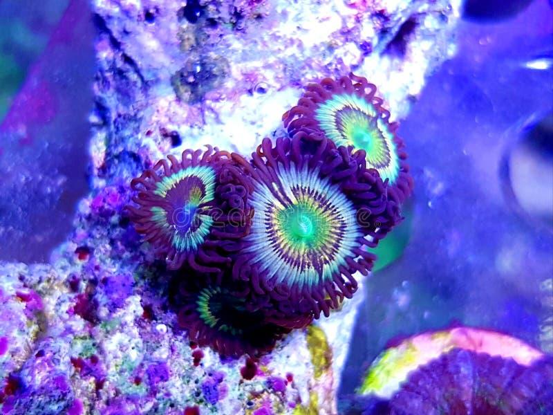 Citrus spp. - Zoanthus polyps kolonie zacht koraal in rif aquarium tank royalty-vrije stock afbeeldingen