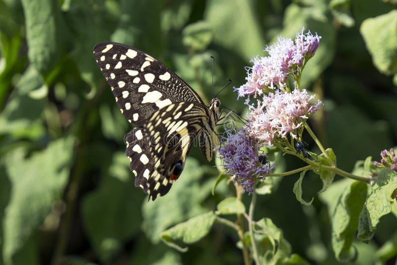 citrus swallowtail zdjęcie stock