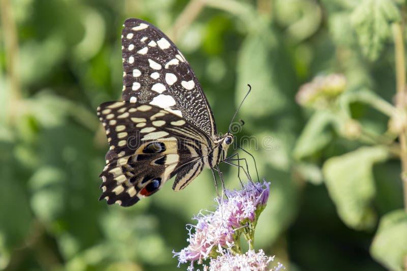 citrus swallowtail fotografia stock