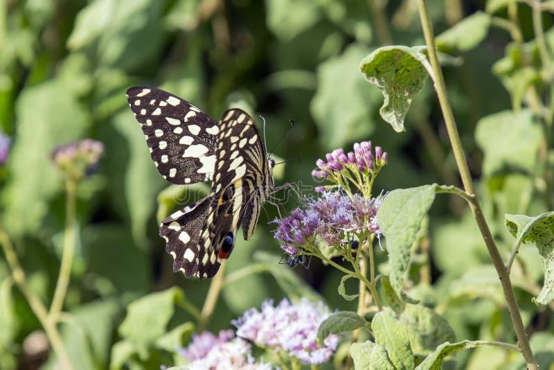 citrus swallowtail obrazy stock