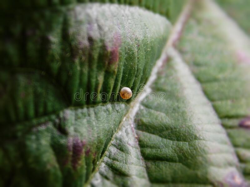 Citrus Swallowtail butterfly egg on a leaf. A close-up view of a Citrus Swallowtail butterfly egg on a leaf stock photo