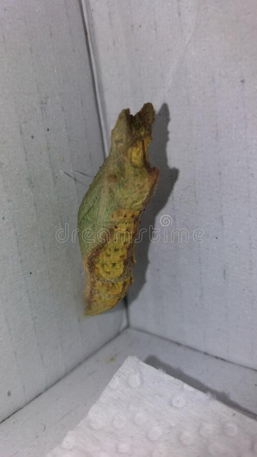 Citrus Swallowtail butterfly pupae stock images