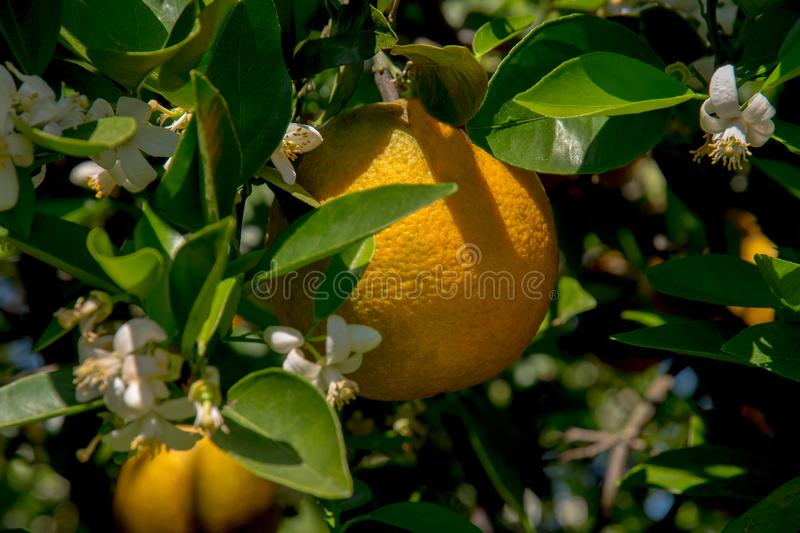 The branches of the orange tree are in bloom. royalty free stock image