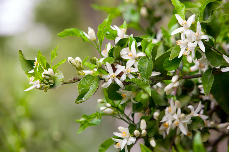 Download Citrus Tree Flowers Royalty Free Stock Photo - Image: 30950265