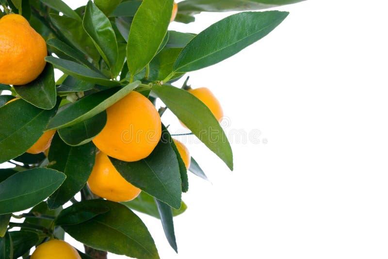 Citrus tree with fruit - small orange. Beautiful citrus tree with orange fruit on branches royalty free stock photo