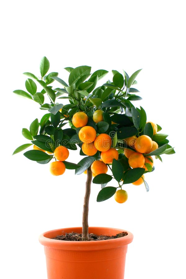 Citrus tree with fruit - small orange royalty free stock photos