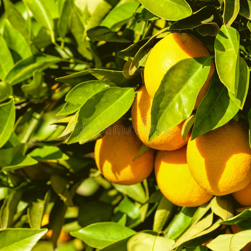 Citrus Tree royalty free stock image