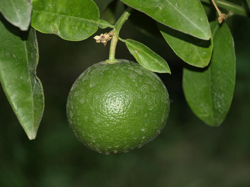 Citrus1 stock afbeelding