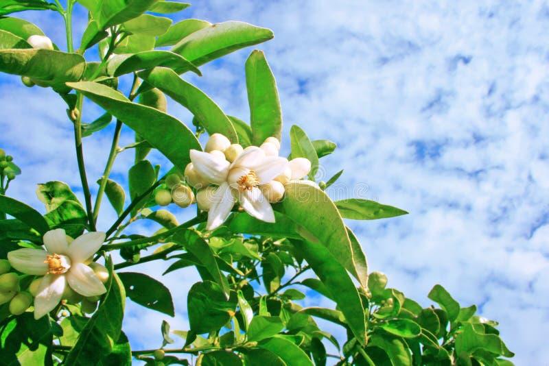 citrusa blommor royaltyfria foton