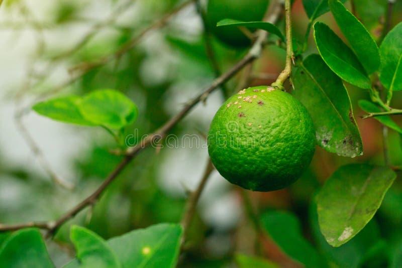 Citrusa kräftasjukdomorsaker vid kräfta för bakterielimefruktfrukt ha som huvudämne sjukdomen av den citrusa citronen plantfamily fotografering för bildbyråer