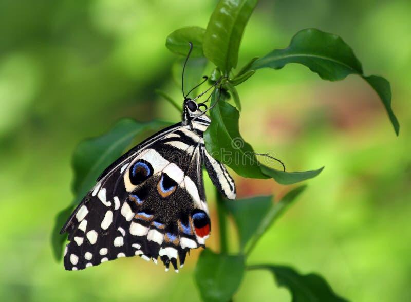 Citrusa Swallowtail fotografering för bildbyråer