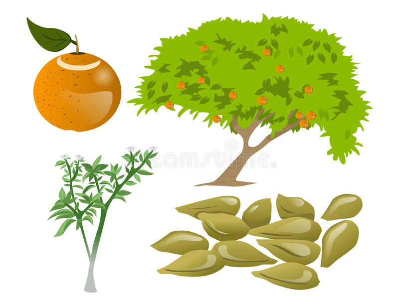 Citrusbomen stock illustratie
