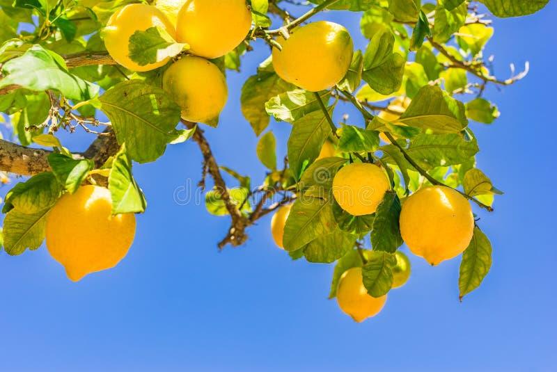 Citrusfrukt nya mogna gula citroner som hänger på träd arkivbild