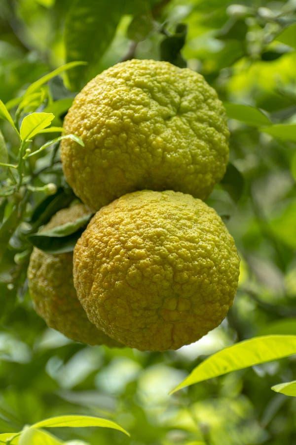 Citrusfrukter av den sura orange bergamoten som riping på thee royaltyfri bild