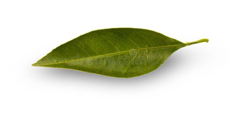 Citrust blad med droppar som isoleras på en vit bakgrund royaltyfri fotografi