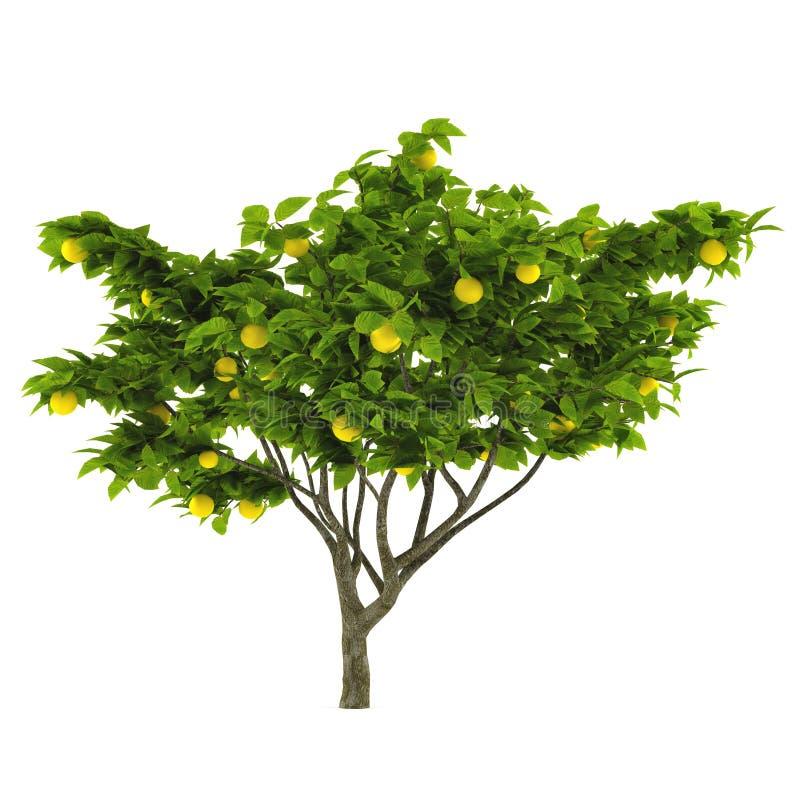 Citrust isolerat citronträd stock illustrationer