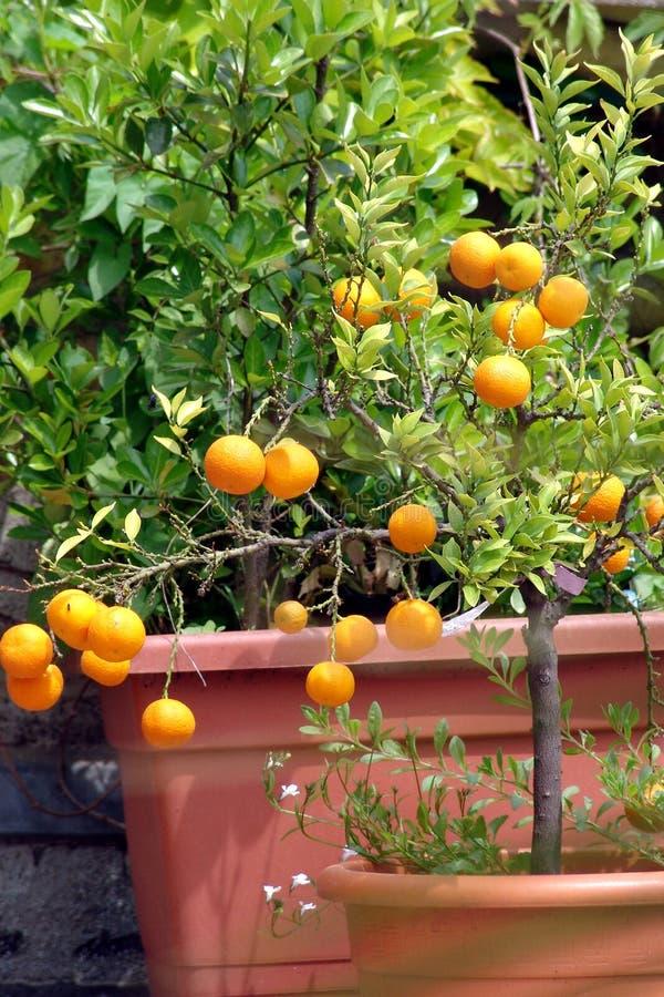 citrusträd royaltyfri fotografi