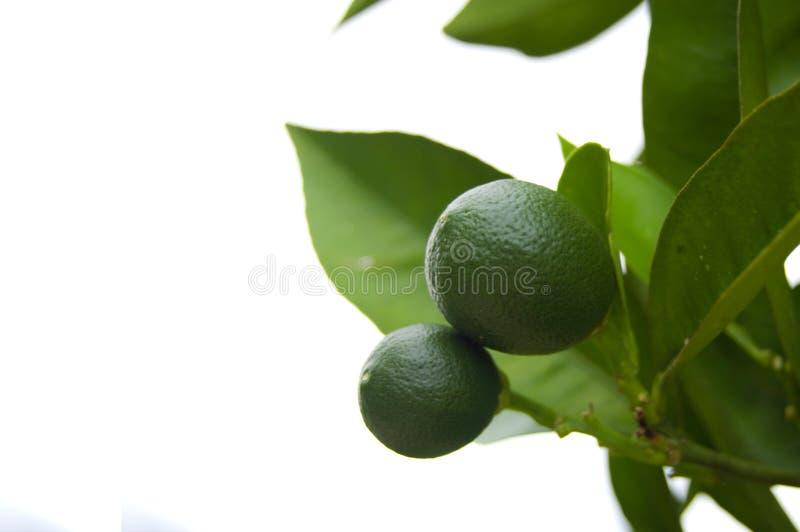 citrusträd arkivbilder