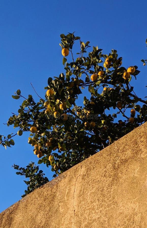 Citrusvrucht en citroenboom met zonlicht stock afbeelding
