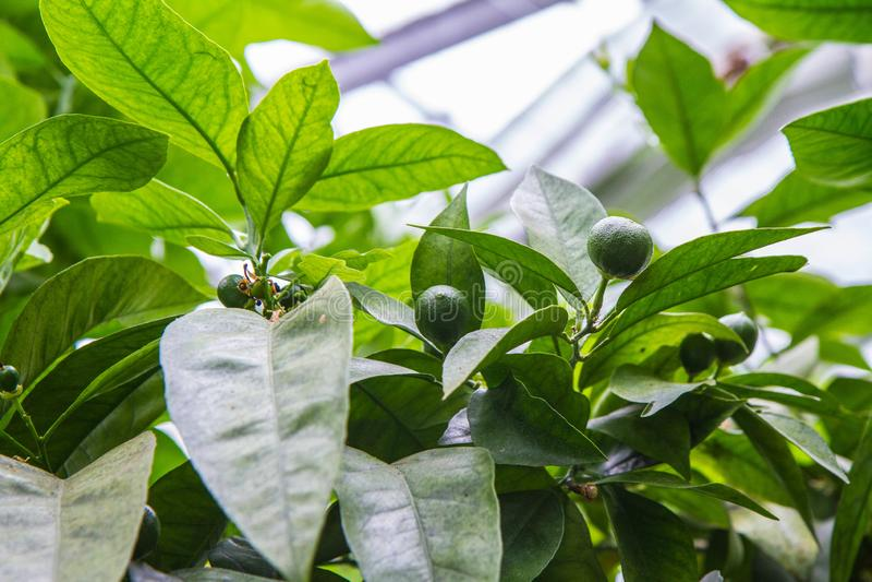 Citrusvruchten op een boom royalty-vrije stock foto's