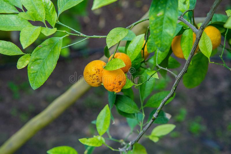 Citrusvruchten op een boom royalty-vrije stock foto