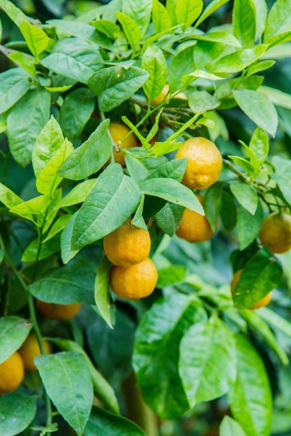 Citrusvruchten op een boom stock afbeelding
