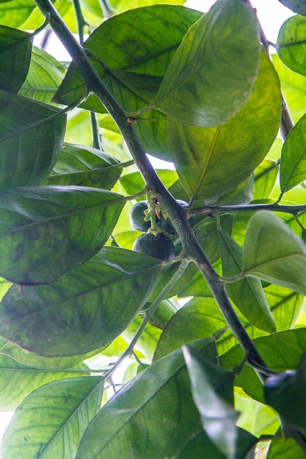 Citrusvruchten op een boom stock afbeeldingen