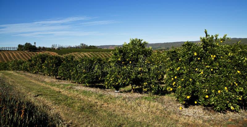 Citrusvruchtenlandbouwbedrijf stock foto's