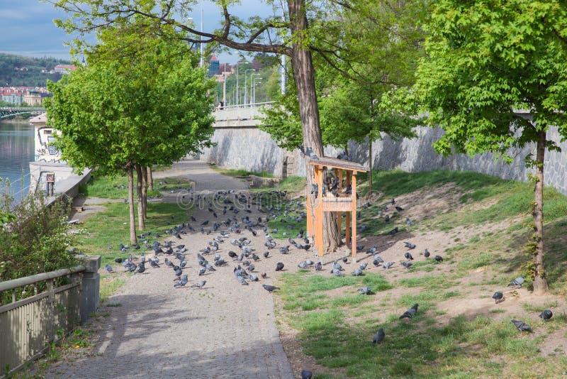 Citt? Praga, repubblica Ceca Al bordo del fiume, un alimentatore dell'uccello, piccioni Foto 2019 di viaggio 26 aprile immagini stock libere da diritti