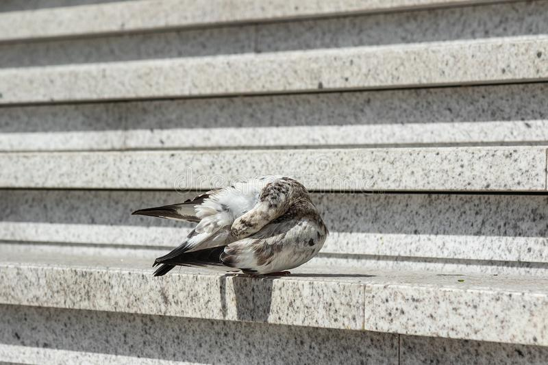 City pigeon cleans feathers on  concrete staircase stock photography