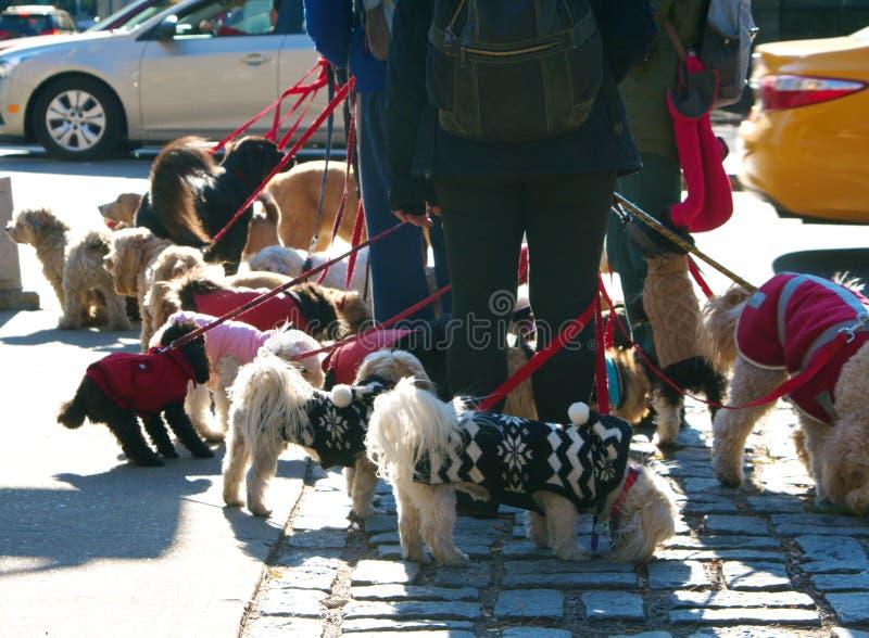 CITY DOG WALKER royalty free stock photos