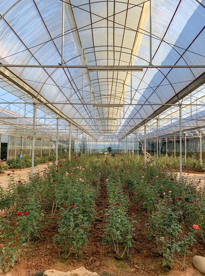 Blossoming red, pink, and white roses greenhouse in the City Flower Garden Da Lat, Vietnam stock photo