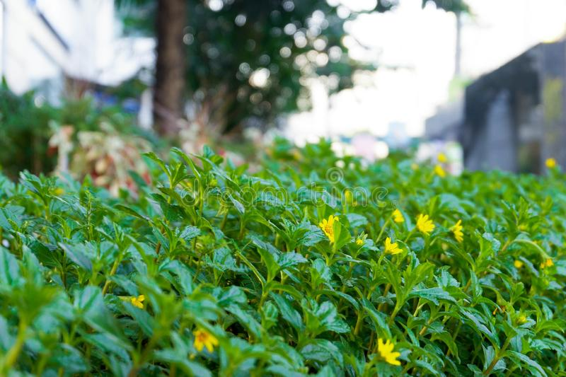 City Green Spaces Yellow Flower Plant. City Green Spaces Close Up View Greenery Leaves Leaf Yellow Flower Plant Morning Daytime Background royalty free stock photography
