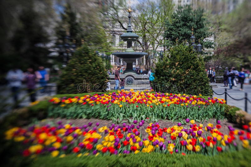 City Hall Park New York City. The blooming colorful tulips and the fountain in the City Hall Park. Manhattan Island, New York City, USA royalty free stock photo